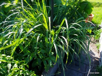 Huge lemongrass plant.